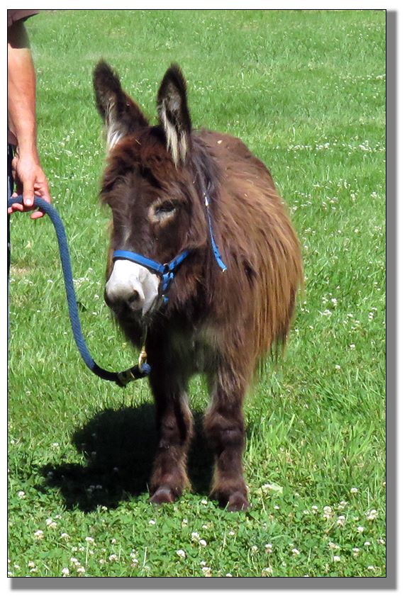 Miniature Donkeys for Sale at The Elms Miniature Donkey Farm