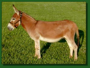 758's DiDi, dark sorrel/red miniature donkey herd sire
