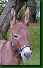 The Elms Eric The Red, dark sorrel miniature donkey herd sir