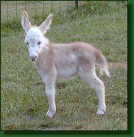 The Elms Misty Dawn, miniature donkey foal