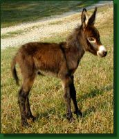 The Elms Sable Princess, miniature donkey foal