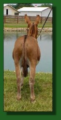 My World Santana, dark red (sorrel) miniature donkey herd sire