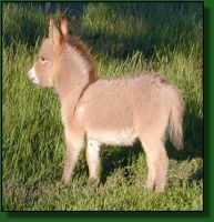 The Elms Red Strider, miniature donkey for sale (11,388 bytes)